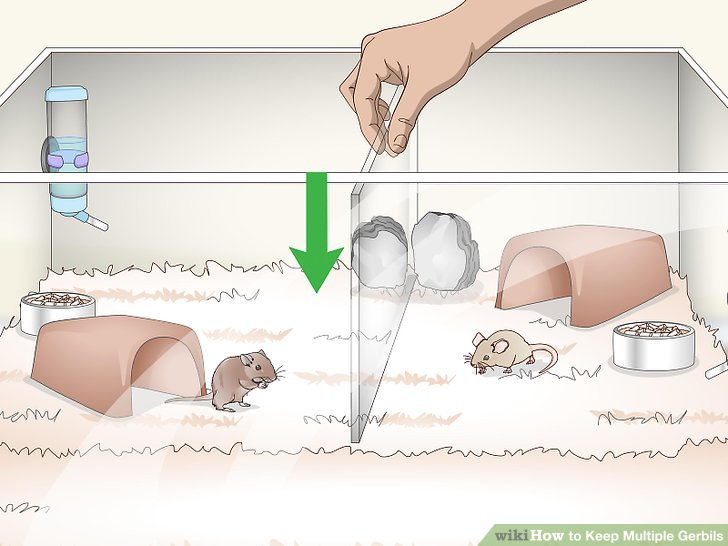 How to Keep Multiple Gerbils - Practical Information