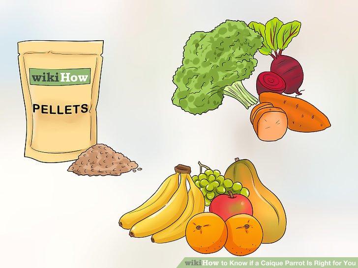 Bereiten Sie sich darauf vor, einem Caique eine abwechslungsreiche Ernährung zu geben.