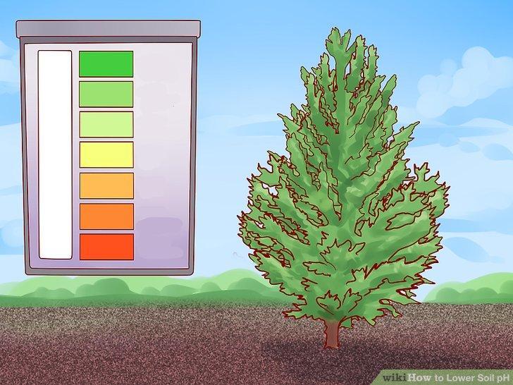 Senken Sie den pH-Wert für immergrüne Bäume.