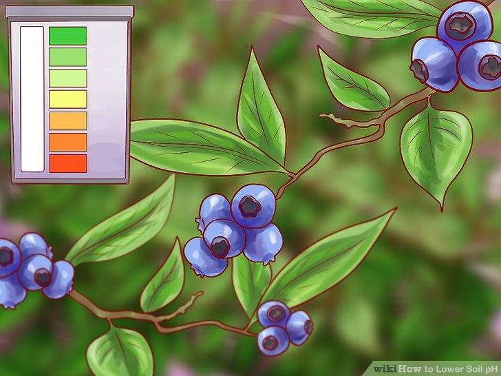 Verringern Sie den pH-Wert des Bodens für bestimmte Beeren.