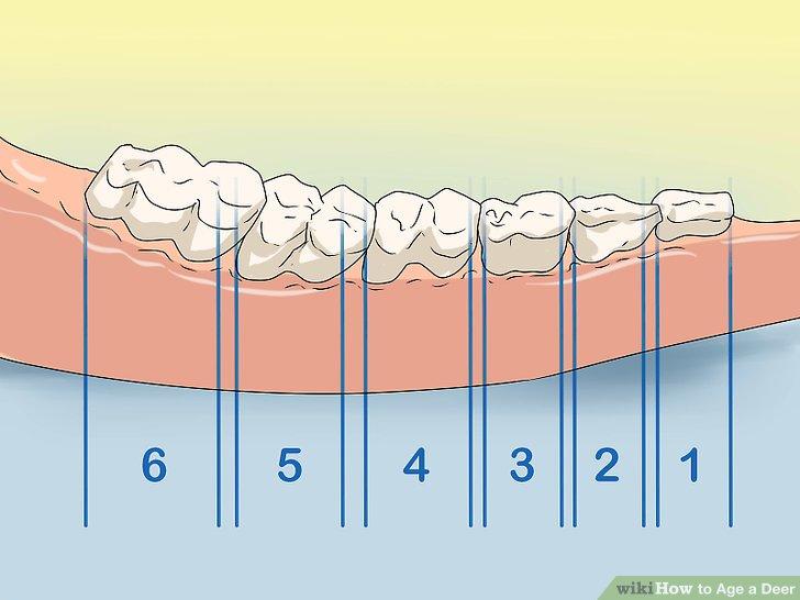 Zählen Sie die Anzahl der Zähne im Kiefer.