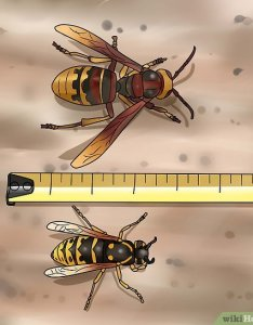 Image titled identify  hornet step also how to steps with pictures wikihow rh