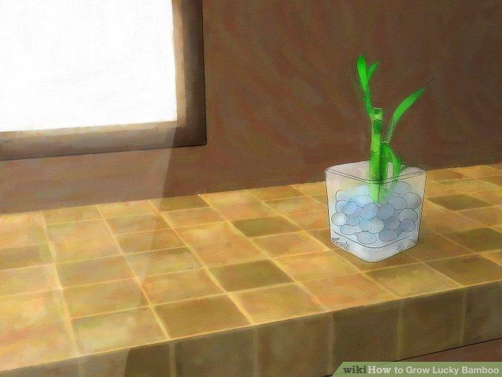Stellen Sie den glücklichen Bambus an einen warmen Ort, wo er indirektes Licht bekommt.