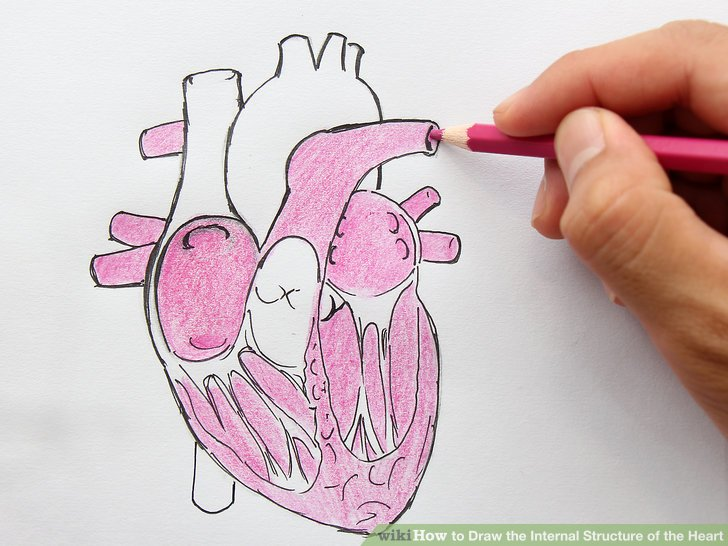How To How To Draw The Internal Structure Of The Heart