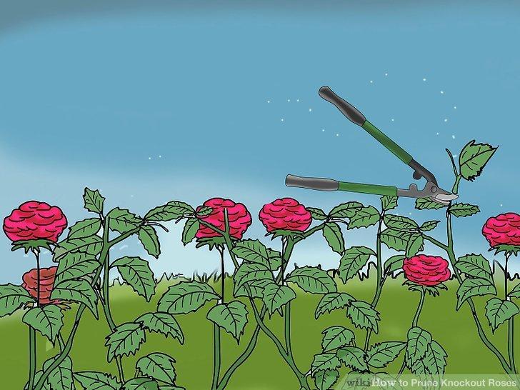 Reduzieren Sie die Gesamthöhe Ihrer Rosenbüsche.