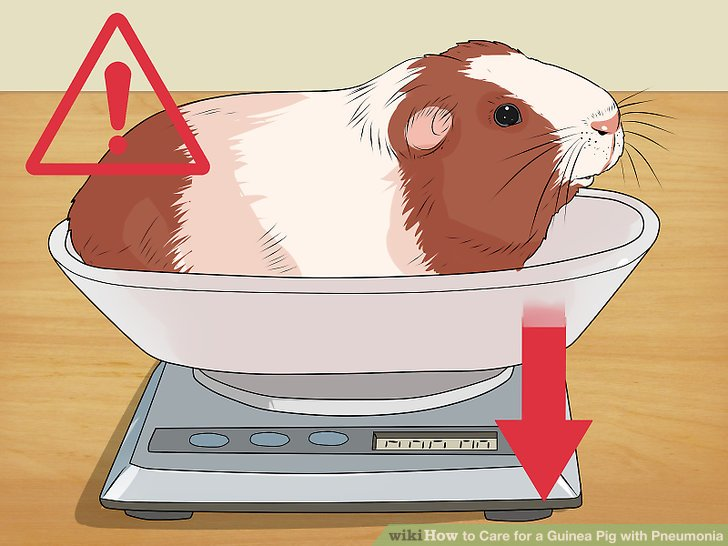 Weigh your guinea pig.