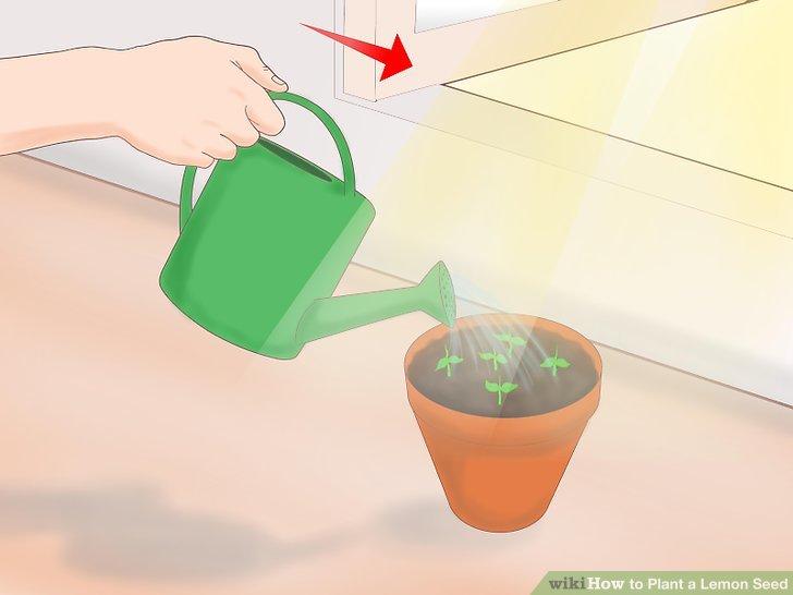 Sobald der Spross erscheint, entfernen Sie die Plastikhülle und bringen Sie den Topf an einen warmen, sonnigen Ort.