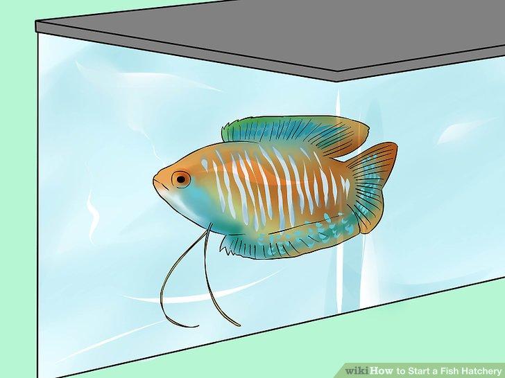 Züchten Sie eine Nischensorte von Hausfischen.