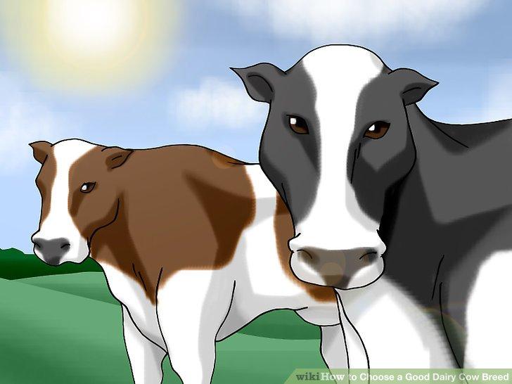 Erfahren Sie mehr über Holsteins.