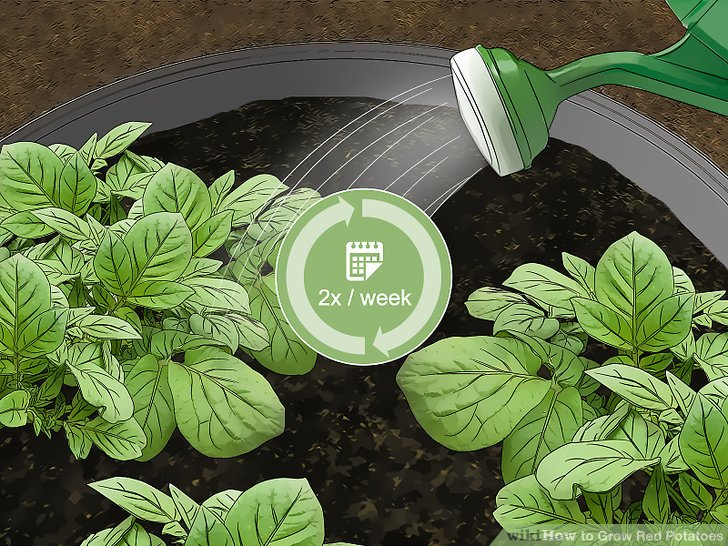 Water the potatoes deeply 1-2 times a week to keep the ground moist.