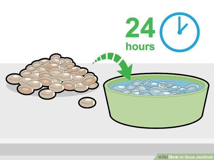 Soak the jackfruit seeds in water for 24 hours.