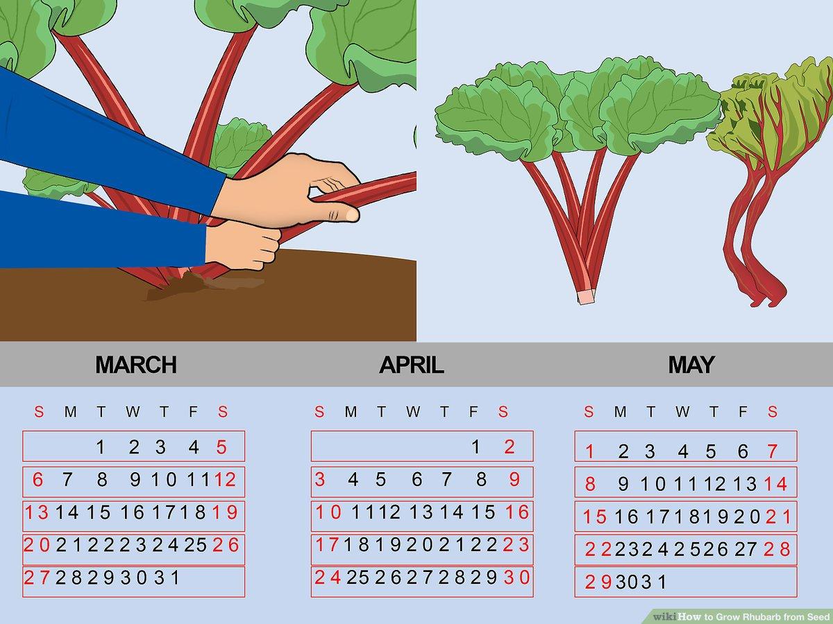 4 Ways To Grow Rhubarb From Seed Wikihow