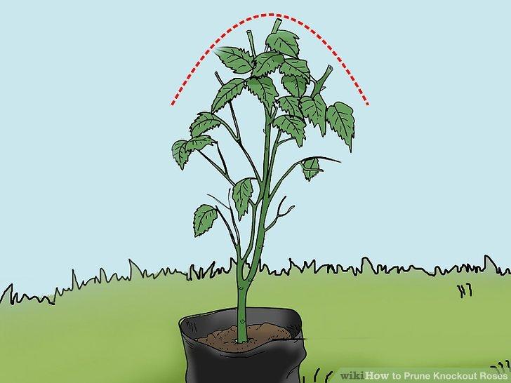 Schneiden Sie Ihre Büsche auf die gewünschte Höhe und Breite.