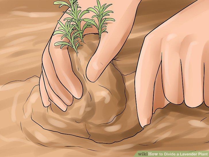 Graben Sie die Lavendelpflanze ganz oder teilweise aus dem Boden.