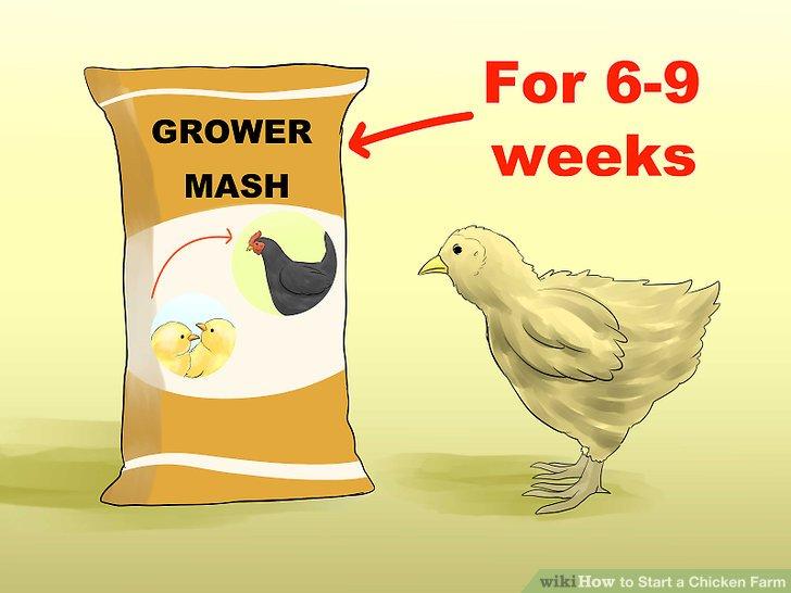 Wenn die Küken nach etwa sechs Wochen ausfedern, wechseln Sie zur Maischefütterung.