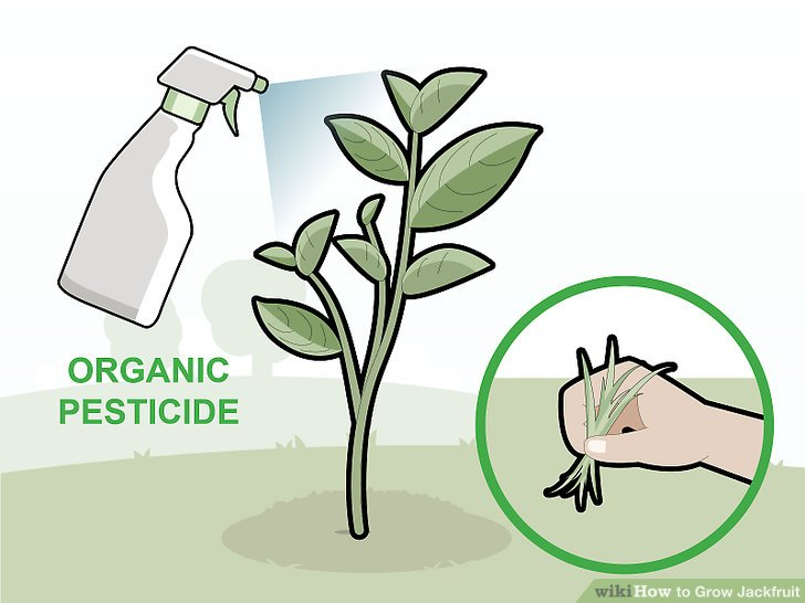 Protect the plant by removing weeds and using an organic pesticide.