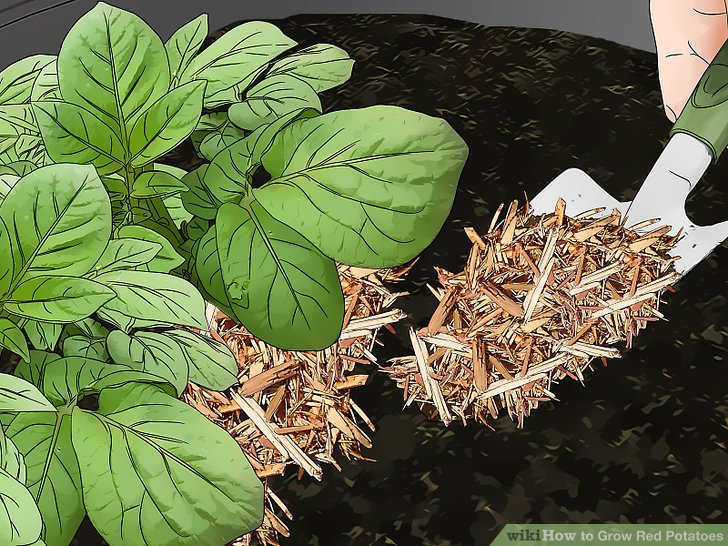 Cover the potatoes with a 3–4in (7.6–10.2cm) layer of mulch.