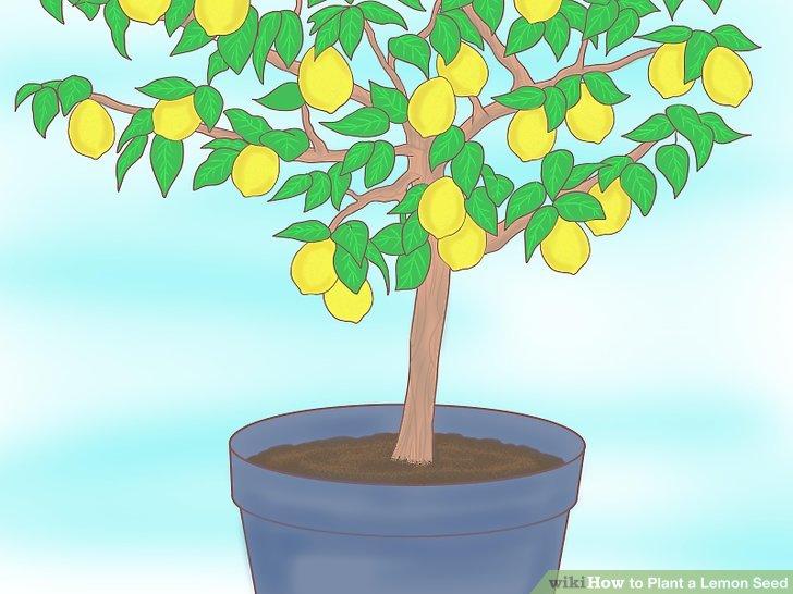 Verstehen Sie, dass es einige Zeit dauern wird, bis Ihr Baum Früchte trägt.