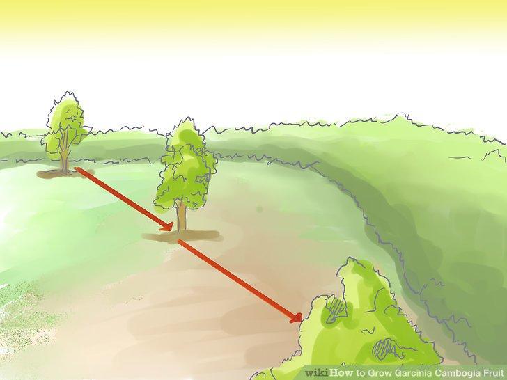 Pflanzen Sie den Cambogia-Baum dreißig Meter von den anderen Bäumen entfernt.