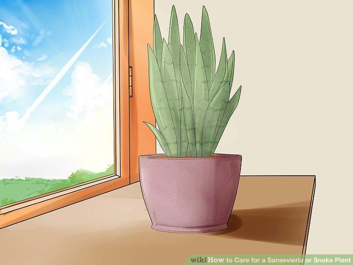 Stellen Sie die Sansevieria-Pflanze ins rechte Licht.