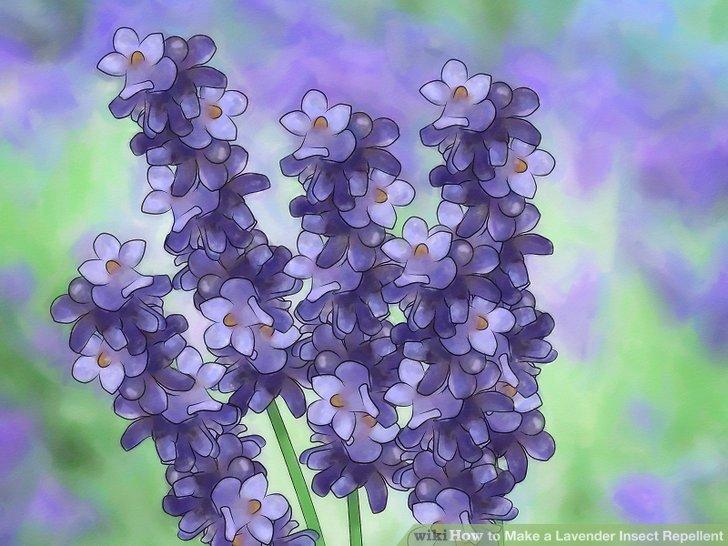 Pflanzen Sie Lavendel in Ihrem Garten.