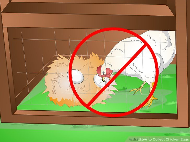Prevent your chickens from eating eggs.