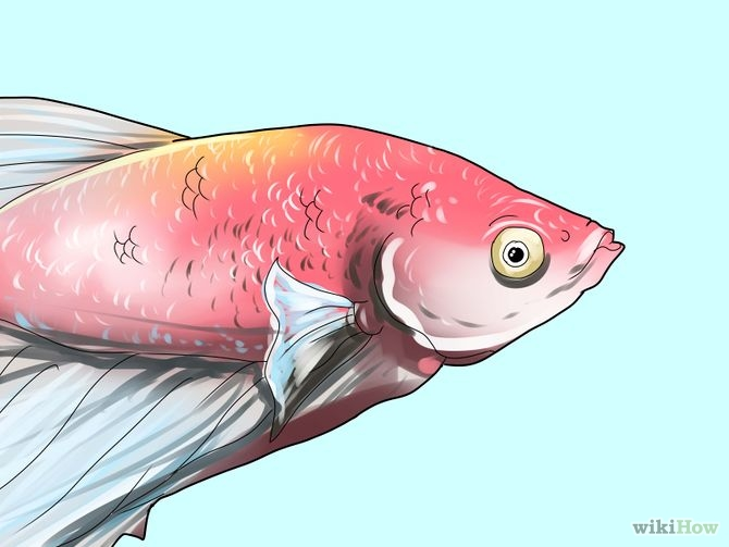 6 Ways to Tell if a Betta Fish Is Sick - wikiHow