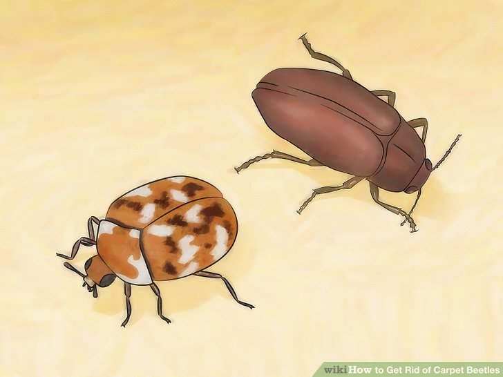 How to Get Rid of Carpet Beetles: 12 Steps (with Pictures)