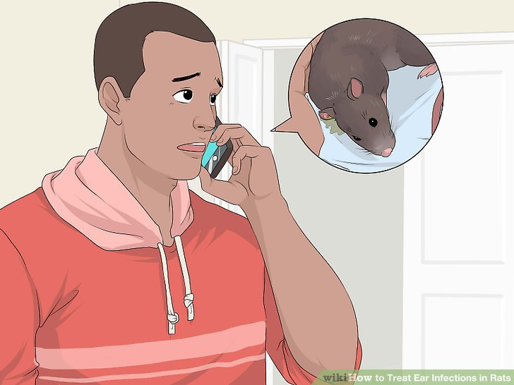 Treat Ear Infections in Rats Step 19.jpg