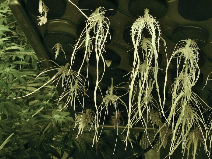 A closeup of marijuana roos grown in a clone machine. Marijuana plants are often grown from clones, instead of seeds. Cuttings are taken and rooted in foam discs while newly-formed roots dangle into nutrient-rich waters. These roots are pure white and form quickly; plants grown this way are ready to plant in a fraction of the time it takes to germinate and grow a seed to the same size.