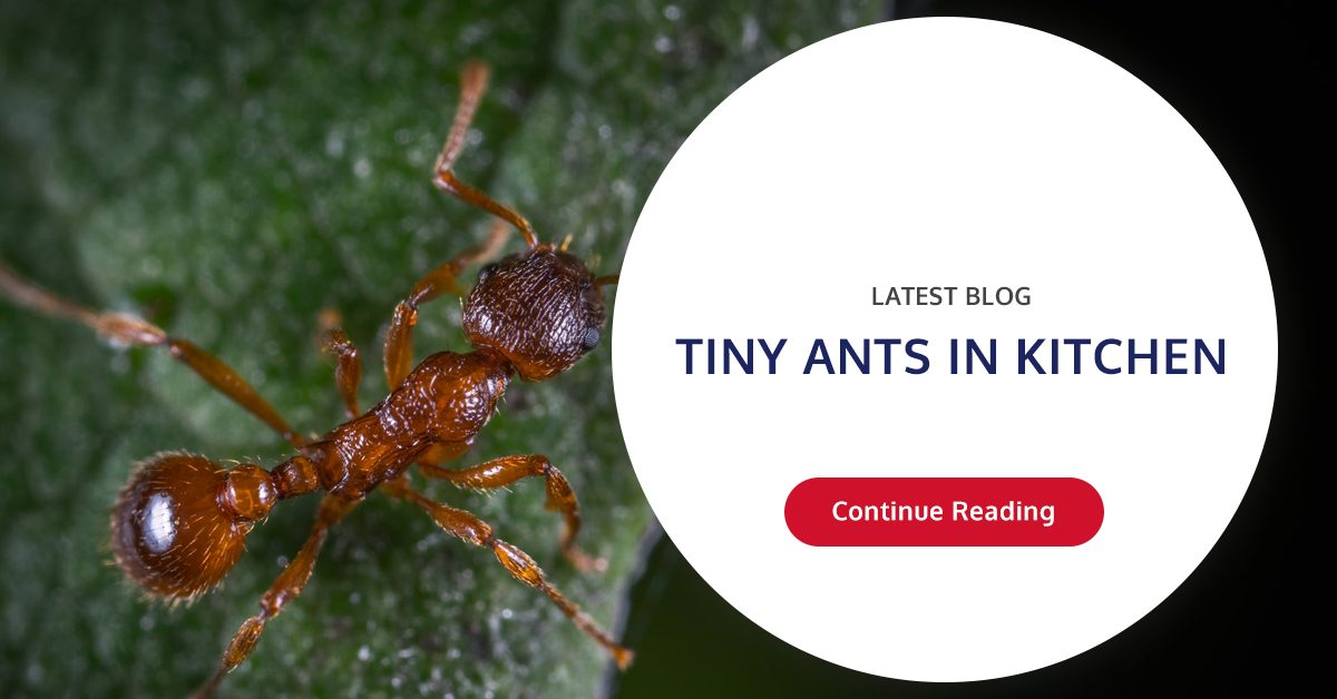 Tiny Ants In Kitchen   Wil-Kil Pest Solutions