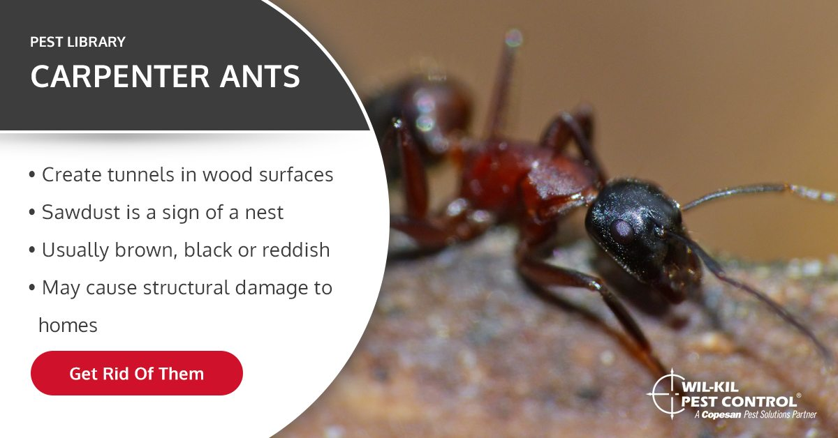 Carpenter Ant Identification  Pest Control Facts and