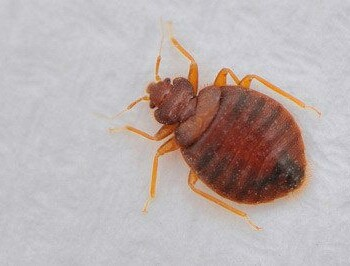 Bed Bug Identification Prevention Tips