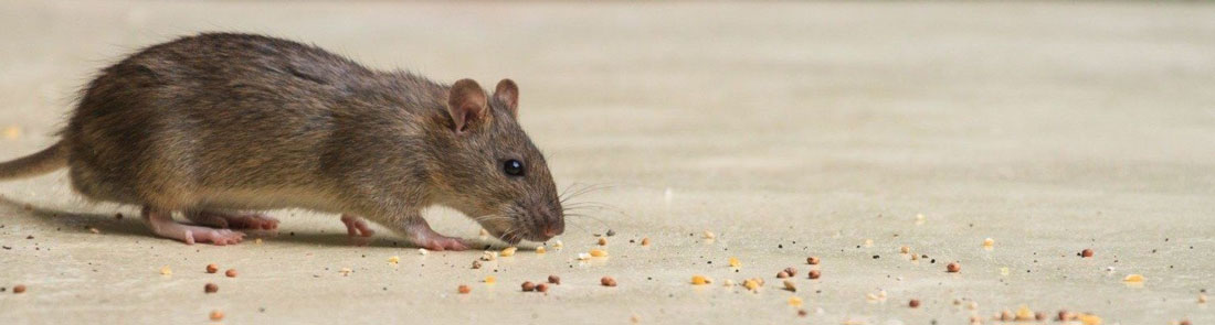 Are Mice In Your Home Really That Dangerous? | Wil-Kil Pest Control