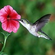 Ruby Throated Hummingbirds Habits What They Eat Nesting