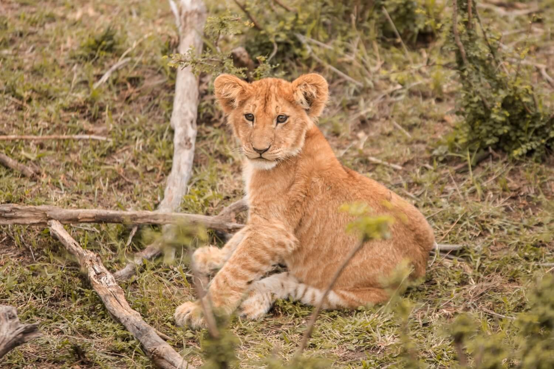 Fotoserie Kenia Löwenjunge