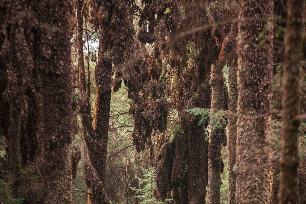 Mexiko Monarchfalter im Wald