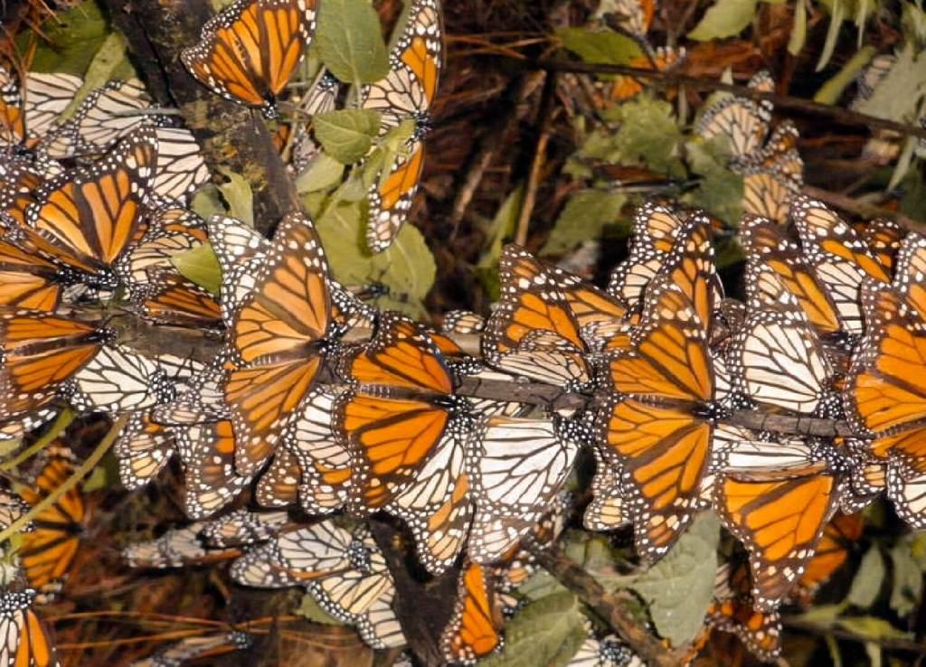 Monarchfalter in Mexiko Ast