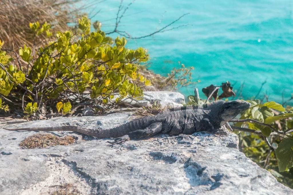 Leguan auf der Insel Mujeres
