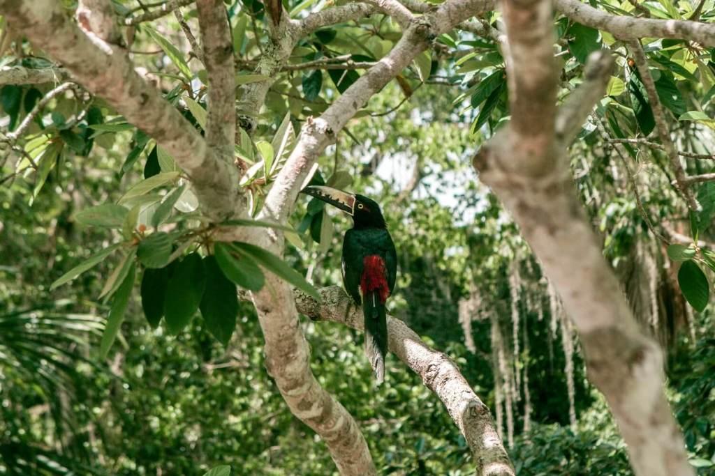 Tikal in Guatemala Tukan