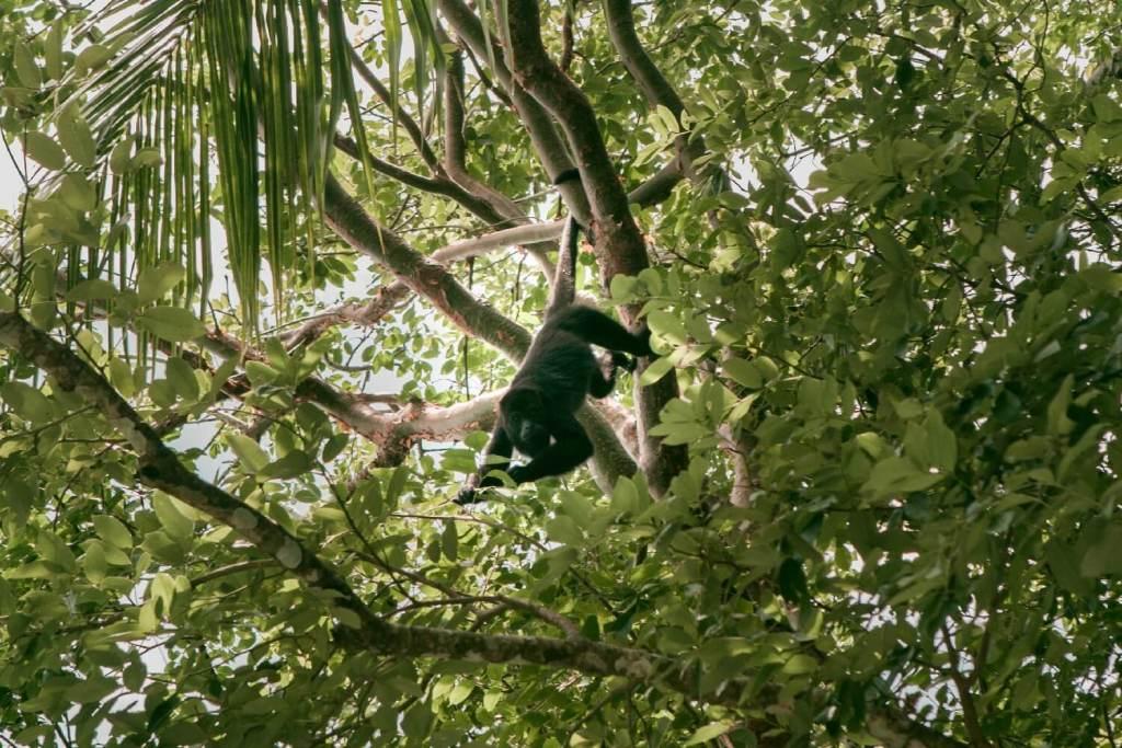 Tikal in Guatemala Affe