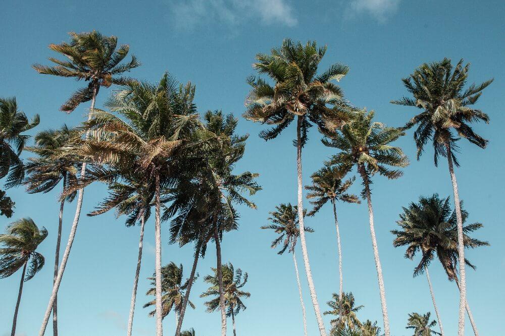 Palmen in Baracoa in Kuba