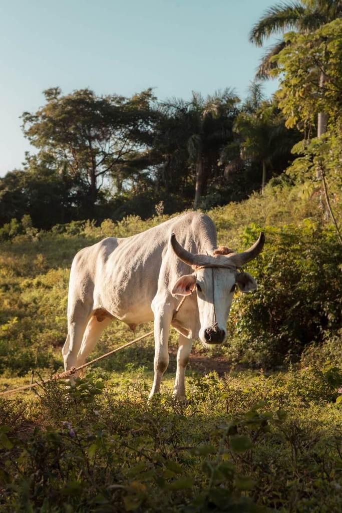 Kuh in Vinales