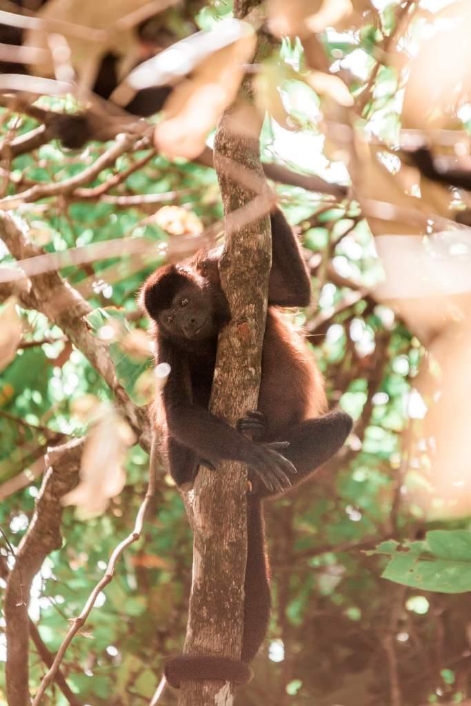 Nationalpark Cahuita Karibikküste von Costa Rica Affe