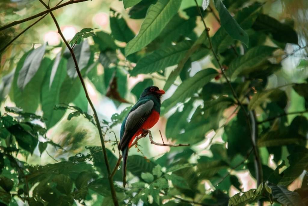 Tortuguero Nationalpark in Costa Rica Vogel