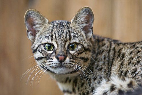 GET TO KNOW THE OCELOT PRICE ONLINE