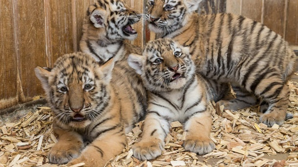 CAN I BUY A TIGER ONLINE WHERE TO BUY PETS