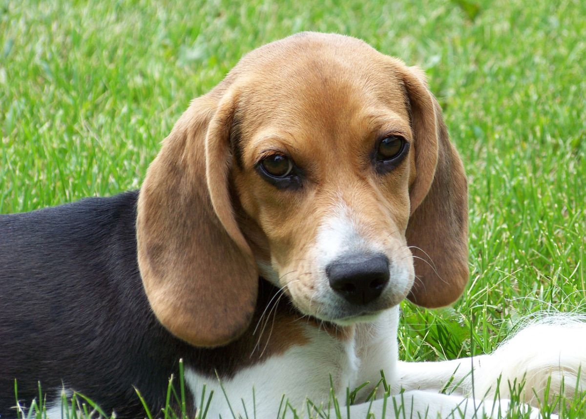 BEAGLE BREED FOR BOTH NATIVE AND EXOTIC DOGS