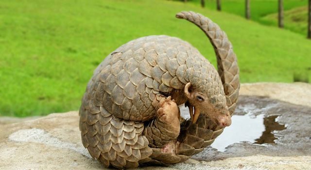 WELL TRAINED EXOTIC PANGOLIN FOR SALE USA ONLINE