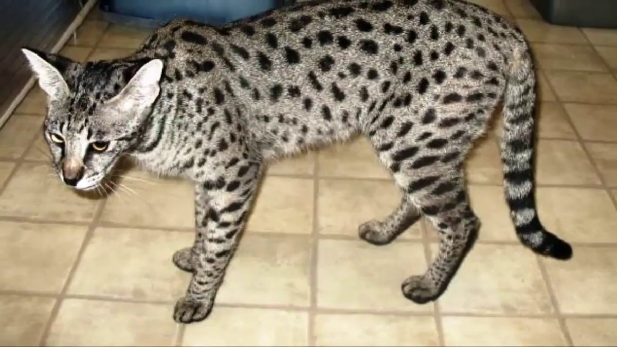 EXOTIC HOUSE CATS FOR SALE ONLINE